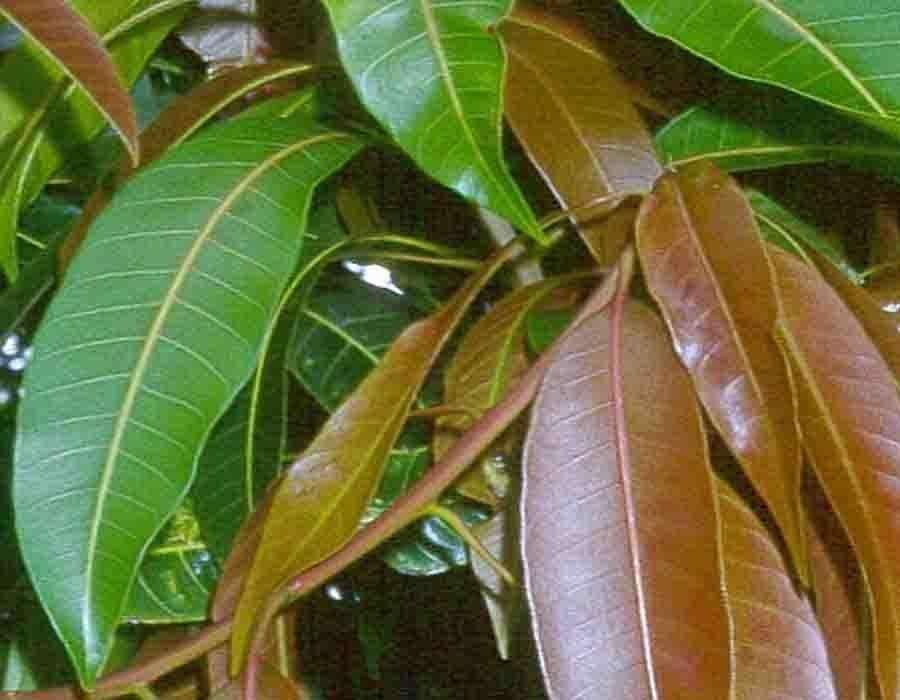किसी औषधि से कम नहीं है आम की पत्तियां, जानिए इसके फायदे और इस्तेमाल करने का तरीका