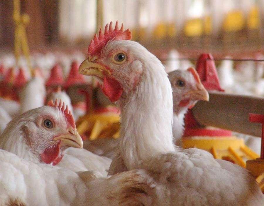 Bird Flu: अंडा और चिकन खाने में लग रहा है डर, तो जानें WHO ने क्या कहा