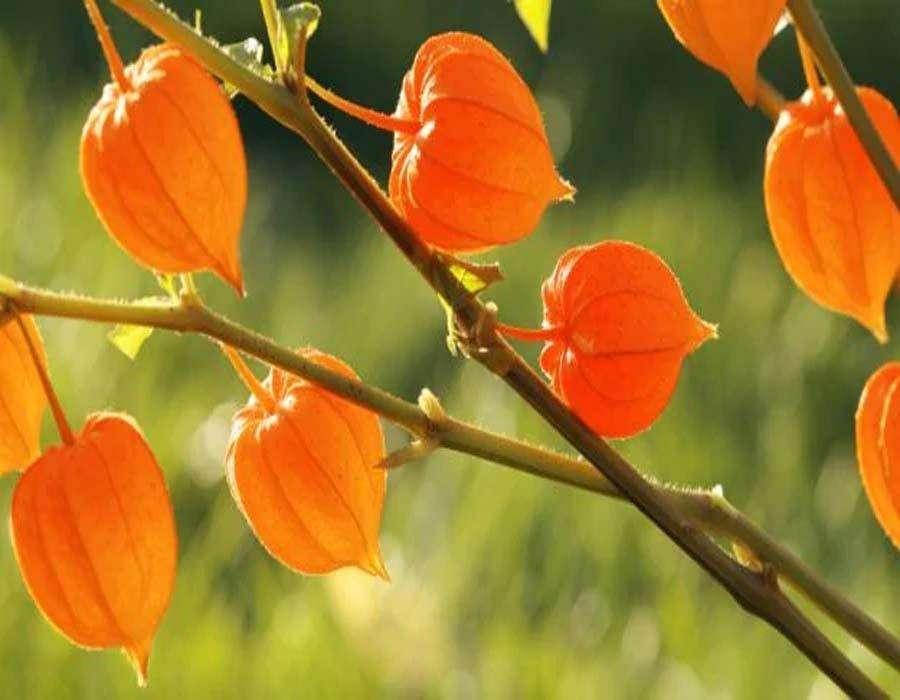 औषधिय गुणों की खान है ये पौधा, फायदे जान आप भी हो जायेंगे हैरान